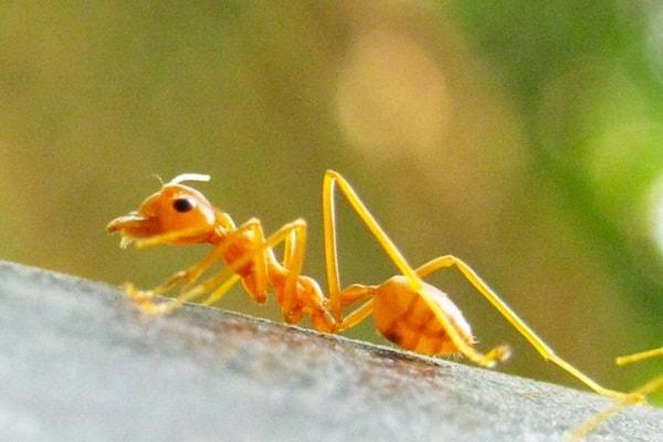 Nằm mơ thấy kiến vàng đánh con gì? điềm báo gì?